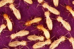 Quarantine and termites