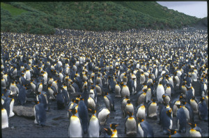 King Penguin colony Sandy Bay