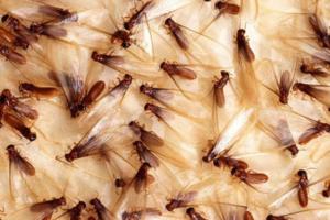 termiteguy-swarm